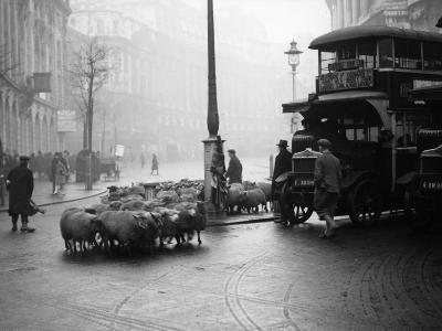 City Sheep--Photographic Print