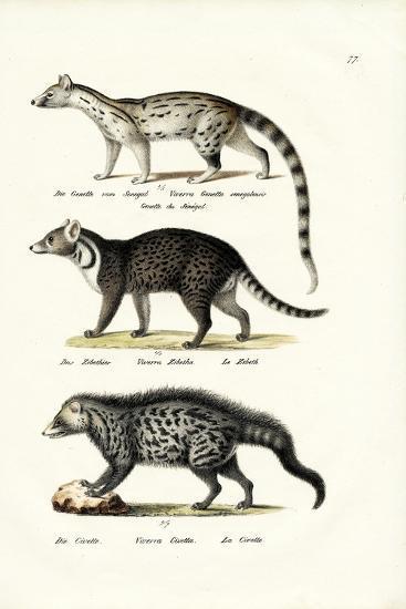 Civet, 1824-Karl Joseph Brodtmann-Giclee Print