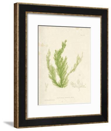 Cladophora laetivirens-Henry Bradbury-Framed Giclee Print