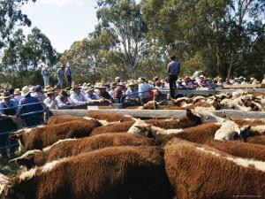Cattle Sale in Victorian Alps, Victoria, Australia by Claire Leimbach
