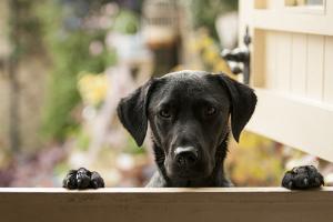 Black Labrador by claire norman