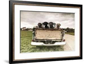 Labradors in a Vintage Truck by claire norman