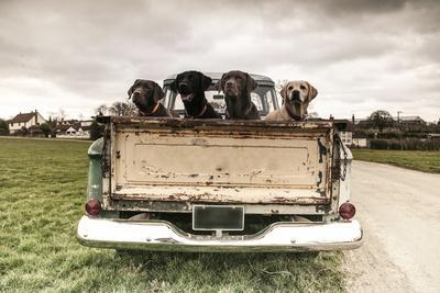 Labradors in a Vintage Truck