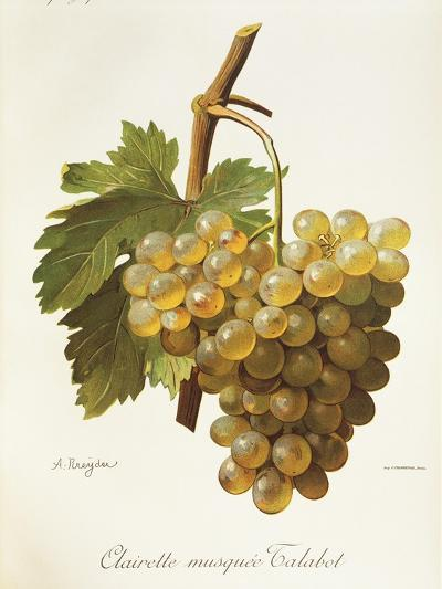 Clairette Musquee Grape-A. Kreyder-Giclee Print