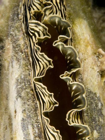 Clam with a Striped Mantle, Malapascua Island, Philippines-Tim Laman-Photographic Print