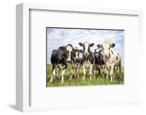 Cows together gathering in the pasture, funny and joyful and a blue cloudy sky by Clara Bastian