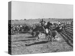 Clarence Hailey Long, Texas Cowboy on His Small Ranch Roping Cattle