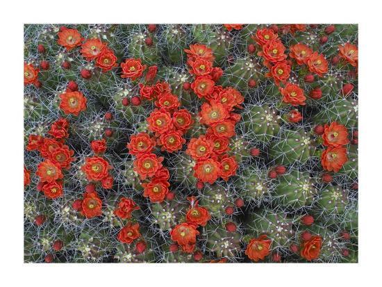 Claret Cup Cactus detail of flowers in bloom, North America-Tim Fitzharris-Art Print