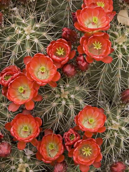 Claret Cup Cactus (Echinocereus Triglochidiatus) Blooming-Don Grall-Photographic Print