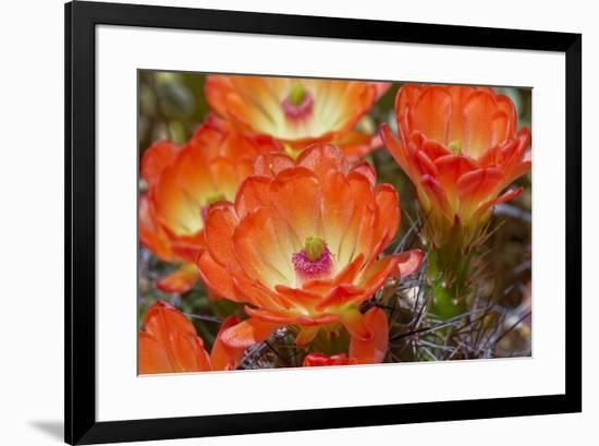 Claret cup cactus flowers, Echinocereus triglochidiatus, Tucson, Arizona-Adam Jones-Framed Photographic Print
