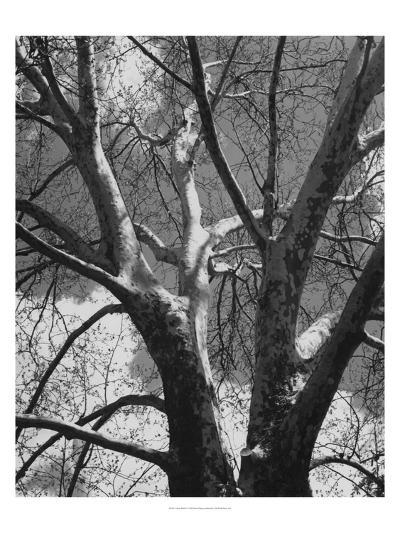 Classic Birch II-Ethan Harper-Photographic Print
