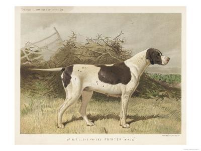 Classic Pointer Standing in the Field--Giclee Print