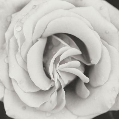 Classic Rose Square-Erin Berzel-Photographic Print