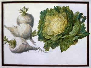 Turnip, Cabbage by Claude Aubriet