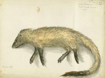 Mongoose, 1872