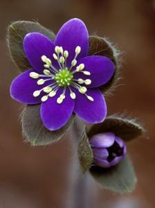 Hepatica and Bud, Lapeer, Michigan, USA by Claudia Adams
