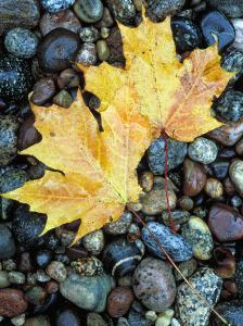 Maple Leaves on Pebble Beach, Lake Superior, Pictured Rocks National Lakeshore, Michigan, USA by Claudia Adams
