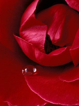 Red Rose, American Beauty, with Tear Drop, Rochester, Michigan, USA