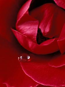 Red Rose, American Beauty, with Tear Drop, Rochester, Michigan, USA by Claudia Adams