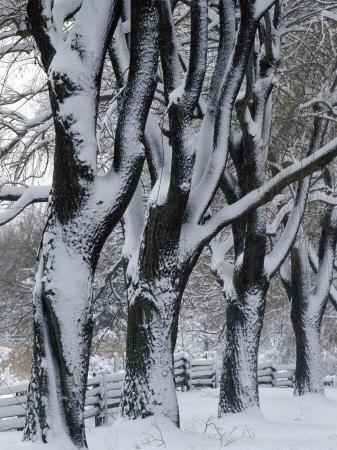Snowy Weeping Willows, Trees and Fence, Oakland County, Michigan, USA