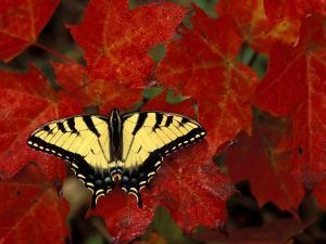 Tiger Swallowtail on Maple Leaves, Michigan, USA by Claudia Adams