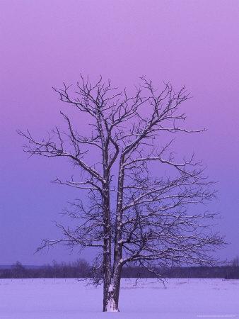 Two Trunked Tree at Sunrise, Chippewa County, Michigan, USA