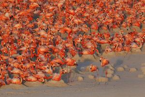 Aerial view of Caribbean Flamingo breeding colony, Yucatan Peninsula, Mexico by Claudio Contreras