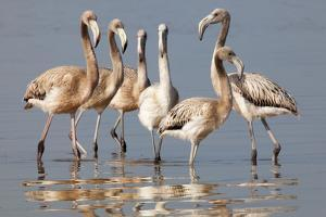 American Flamingo (Phoenicopterus Ruber) Juveniles by Claudio Contreras