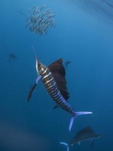 Atlantic Sailfish (Istiophorus Albicans) Attacking School of Sardine (Sardinella Aurita) Bait Ball by Claudio Contreras