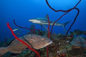 Black grouper and Caribbean Reef Shark, Jardines de la Reina National Park, Caribbean Sea, Cuba by Claudio Contreras