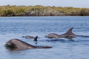 Bottlenose dolphin in mangrove canals, Baja California by Claudio Contreras
