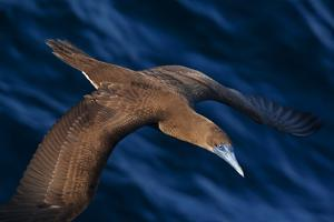 Brown booby flying over San Pedro Martir Island Protected Area, Gulf of California, Mexico by Claudio Contreras