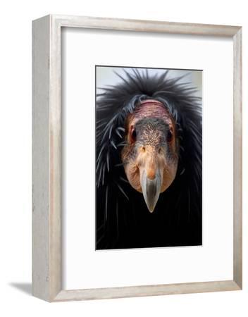 California Condor (Gymnogyps Californianus), Iucn Critically Endangered, Captive