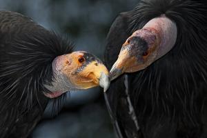 California Condors (Gymnnogyps Californicus) Interacting. Captive. Endangered Species by Claudio Contreras