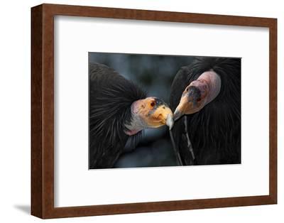California Condors (Gymnnogyps Californicus) Interacting. Captive. Endangered Species