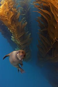 Californian Sealion in kelp forest, Baja California, Mexico by Claudio Contreras