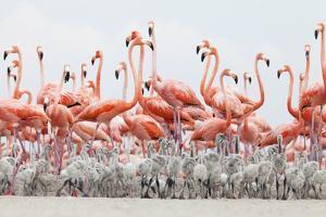 Caribbean Flamingo chick creche, Ria Lagartos Biosphere Reserve, Yucatan Peninsula, Mexico by Claudio Contreras