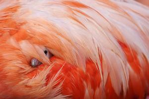 Caribbean Flamingo chick under the wing of protective parent, Yucatan Peninsula, Mexico by Claudio Contreras