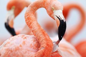 Caribbean Flamingo feeding three day old chick at breeding colony, Yucatan Peninsula, Mexico by Claudio Contreras