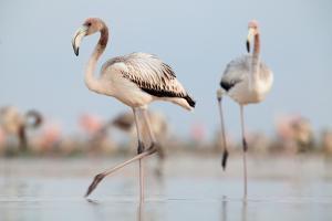Caribbean Flamingo juvenile, Yucatan Peninsula, Mexico by Claudio Contreras
