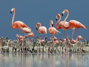 Caribbean Flamingo (Phoenicopterus Ruber) Adults Guarding Chick by Claudio Contreras