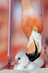 Caribbean Flamingo preening chick in the breeding colony, Yucatan Peninsula, Mexico by Claudio Contreras