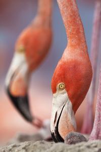Caribbean Flamingo tending to newborn chick, Yucatan Peninsula, Mexico by Claudio Contreras