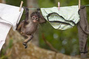 Central American Spider Monkey (Ateles Geoffroyi) Orphan Baby Hanging from Washing Line by Claudio Contreras