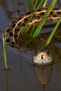 Checkered Garter Snake (Thamnophis Marcianus) Laredo Borderlands, Texas, USA. April by Claudio Contreras