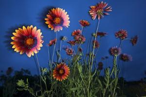 Firewheel (Gaillardia Pulchella) Flowers at Twilight, Laredo Borderlands, Texas, USA. April by Claudio Contreras