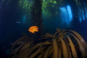 Garibaldi fish and Giant Kelp forest, San Benitos Islands, Baja California, Mexico, May by Claudio Contreras