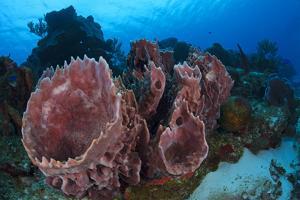 Giant Barrel Sponge (Xestospongia Muta) Cozumel Reefs National Park by Claudio Contreras