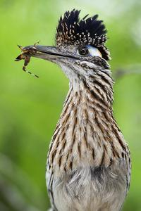 Greater Roadrunner (Geococcyx Californianus) with Nuptial Gift Calling Mate by Claudio Contreras