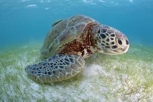 Green Turtle (Chelonia Mydas) over Sea Floor, Akumal, Caribbean Sea, Mexico, January by Claudio Contreras